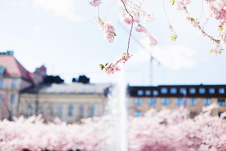 cherry-blossom-tree1