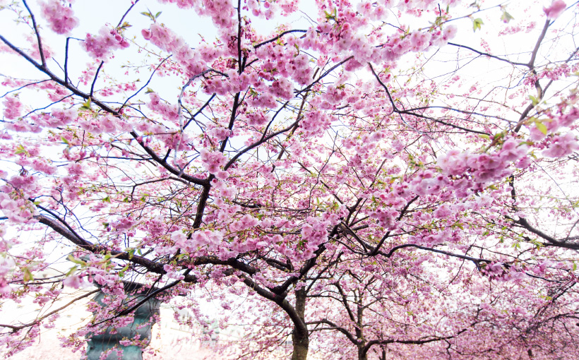 cherry-blossom-stockholm